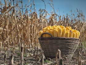 Wyckoff's Weekly Grain Forecast: Thursday's USDA Reports Key to Watch