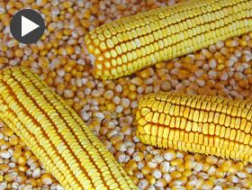 Wyckoff's Weekly Grain Forecast: Trade Expects US Corn 50 Per Cent Harvested
