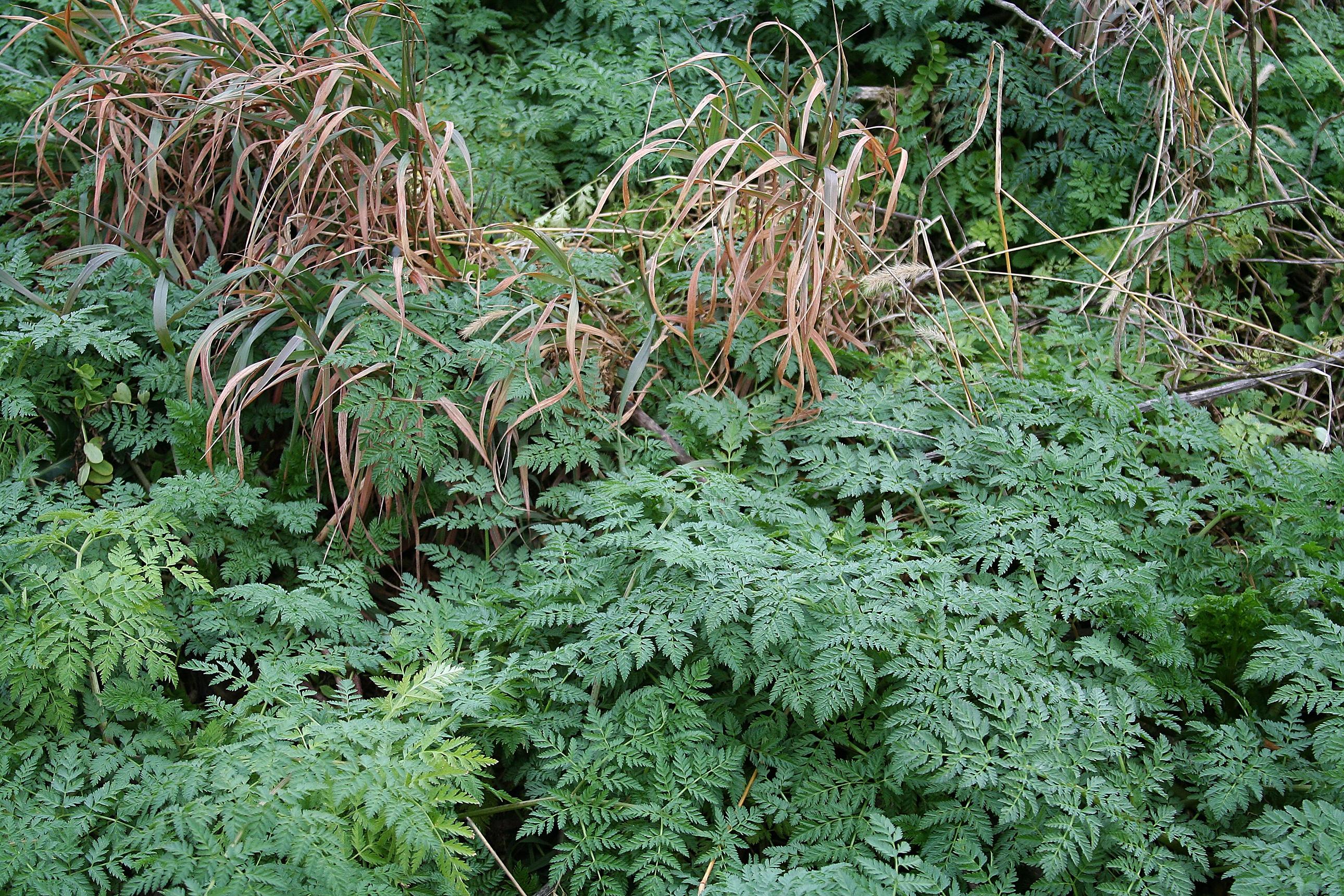 A Purdue Extension weed scientist is urging crop and livestock producers to control poison hemlock in the fall. (Purdue Botany and Plant Pathology photo/Travis Legleiter)
