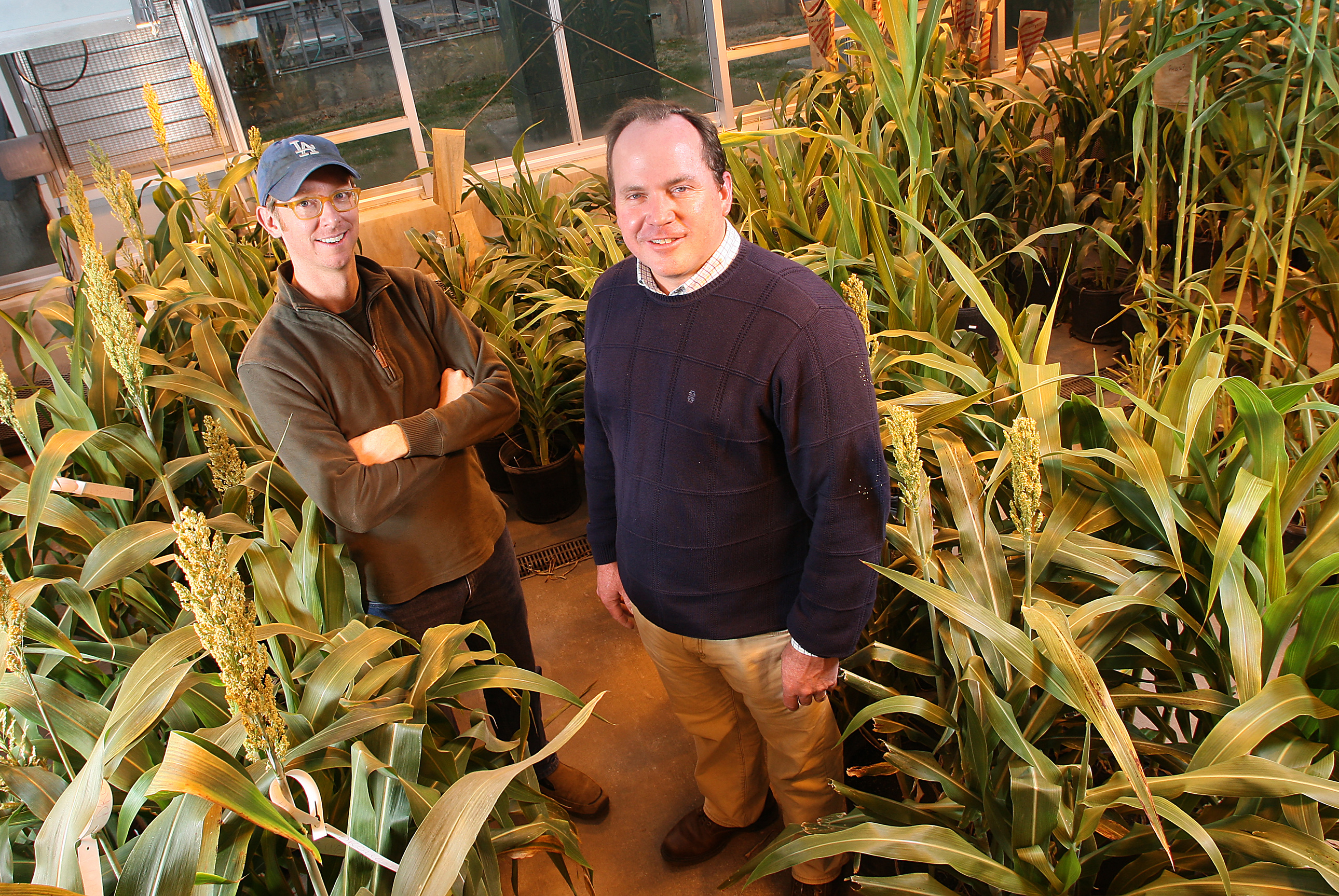 Brian Dilkes, at left, and Mitch Tuinstra with sorghum plants.