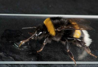 This is a bumblebee drinking a virus inoculum as part of the research.