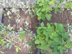 Greenhouse study showing drought-stressed soybean with different levels of resistance to charcoal rot.