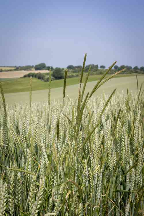 http://www.thecropsite.com/uploads/files/news/2014/May%2014/Black-grass%20in%20winter%20wheat%20%2528Lincolnshire%20Wolds%20in%20July%2529%20low%20res.jpg