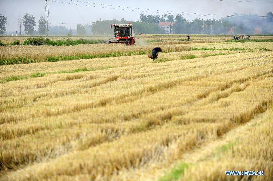 Wheat Harvest in China