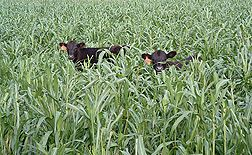 Study Shows No Damage to Soils from Grazing of Cover Crops