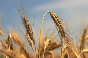 Russia Expecting Big Wheat Exports Despite Restrictions