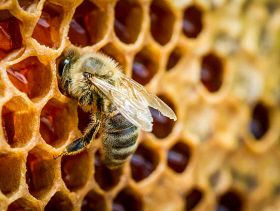 Understanding the Evolution of Social Complexity in Bees