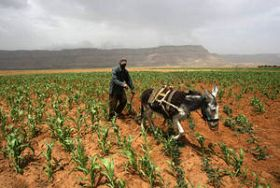 FAO Supporting Yemenis Farmers as Conflict Escalates
