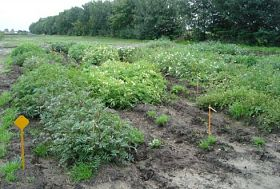 Research into resistances in wild potatoes for new disease-free potato varieties