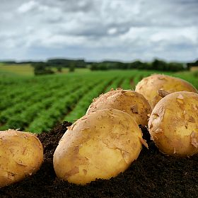 Growing potatoes without plowing
