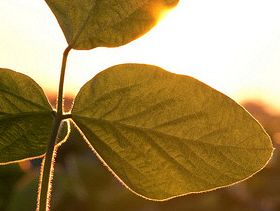 USDA Plantings Report Shows Soybeans Gaining Popularity