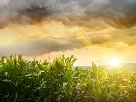USDA Grain Market Review: Corn, Wheat Up; Soybeans Sharply Lower