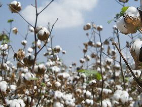 Pakistan Announces Cotton Support Price