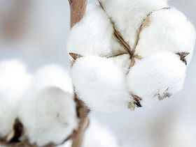High Plains Cotton 'Chugging Along'
