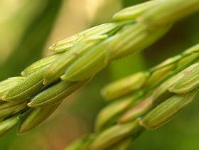 2014 Sri Lanka Rice Output Decreased Due to Prolonged Dry Weather