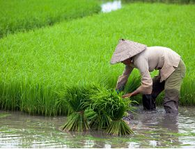 India's Hybrid Rice Sowing Area Exceeds 2.5 Million Hectares