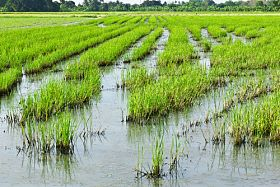 New Group Set Up for More Sustainable Rice