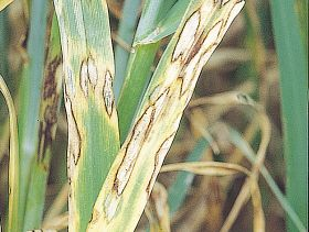 Barley Scald Risk Depends on Seasonal Conditions