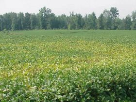 Sudden Death Syndrome Hits Soybeans Across US