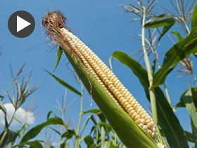 Market Analyst: Fight Returns to Grain Futures