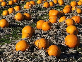 Pumpkin Crop Developed Well Amid Favorable Weather
