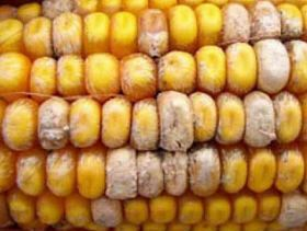 Mycotoxins: Farmers Must Be Vigilant