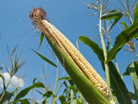 How Burdensome Are Corn Supplies?