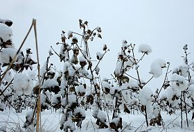 Big Freeze Arrived at Right Time for South Plains Cotton