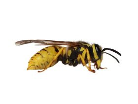 Wasp vs Wattle - Is Biocontrol the Answer for Europe?