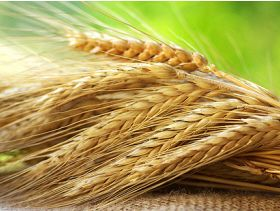 Brazil Expects Record Wheat Harvest
