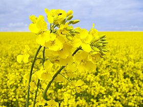 Drop in EU Rapeseed Blamed on Neonicotinoid Seed Treatment Ban